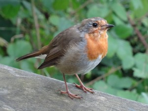 Friendly European Robin following us outside the visitor's center