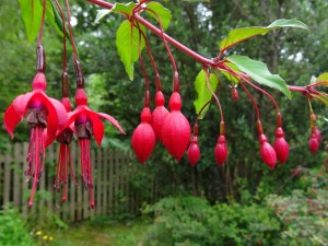 Fuchsia plants - While not native to Ireland, grow wildly all over