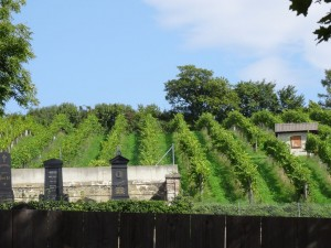 Vineyards in the cemetary