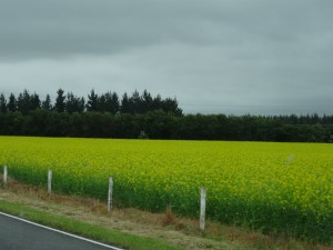 Field covered flowers (what type?) leaving Christchurch